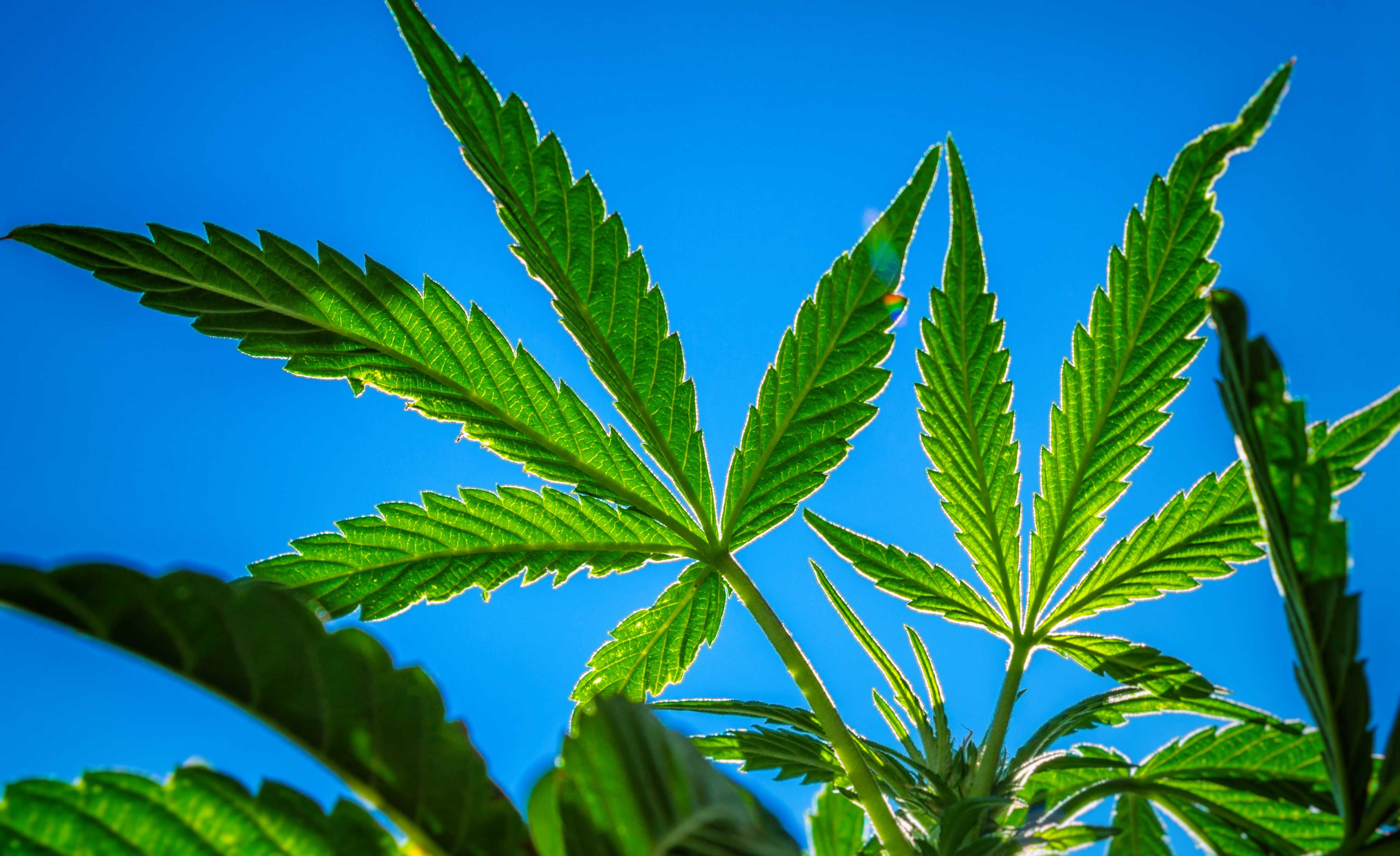 medical cannabis and federal law marijuana While cannabis continues to be classified as a schedule 1 substance and is therefore illegal federally, states are allowed to adapt their own legislation marijuana laws vary state-by-state hemp-derived cbd products are legal under federal law in the united states however, individual state laws.